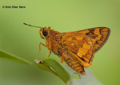 The Large Dartผีเสื้อหนอนหญ้าใหญ่Potanthus serina
