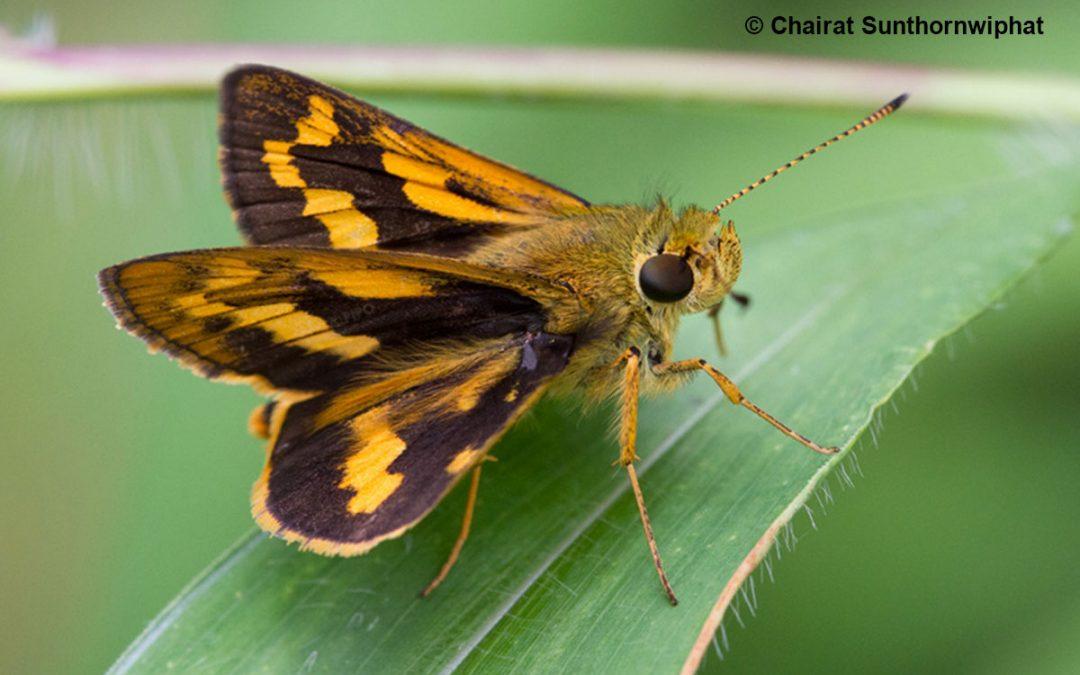 The Yellow and Black Dartผีเสื้อหนอนหญ้าเหลืองดำPotanthus sita