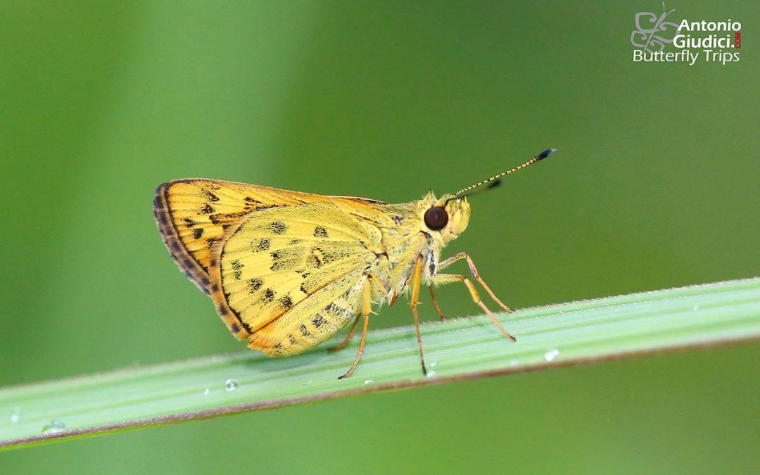 The Detached Dartผีเสื้อหนอนหญ้าจุดแยกPotanthus trachala