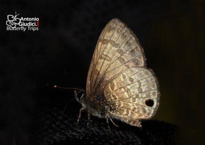 The Dark-based Lineblueผีเสื้อฟ้าขีดหกโคนปีกดำProsotas gracilis