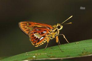 Pyroneura Callineura