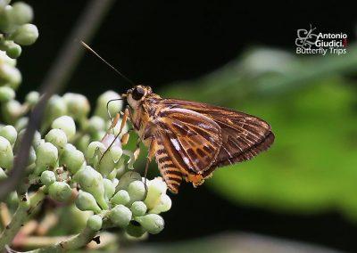 The Spot-pointed Lancerผีเสื้อเส้นปีกแดงจุดแหลมPyroneura derna