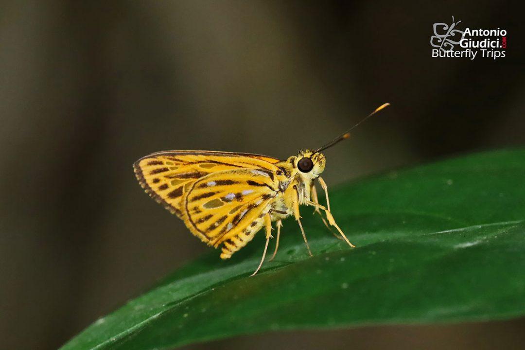 The Lesser Lancerผีเสื้อเส้นปีกแดงเล็กPyroneura flavia