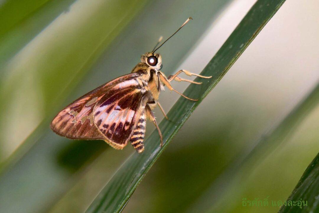The Brown-veined Lancerผีเสื้อเส้นปีกน้ำตาลPyroneura klanga