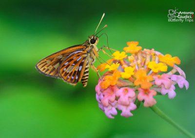 The Spot-conjoined Lancerผีเสื้อเส้นปีกแดงจุดเชื่อมPyroneura margherita