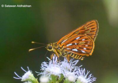 The Burmese Lancerผีเสื้อเส้นปีกแดงพม่าPyroneura niasana