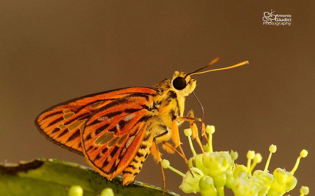 The great Red-vein Lancerผีเสื้อเส้นปีกแดงใหญ่Pyroneura perakana