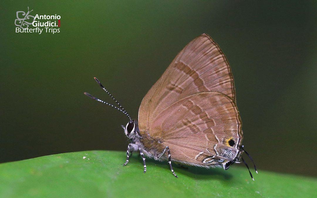 The Indigo Flashผีเสื้อหนอนไม้ผลสีน้ำเงินRapala varuna