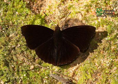 The Siamese Black Princeผีเสื้อเจ้าชายดำสยามRohana parisatis