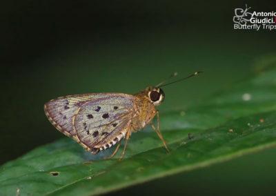 The Multi-spotted Darterผีเสื้อบินเร็วจุดผสมSalanoemia sala