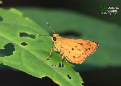 The Yellow-streak Darterผีเสื้อบินเร็วขีดเหลืองSalanoemia tavoyana