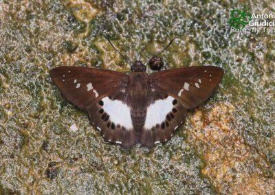 The Malayan White Flat ผีเสื้อท้ายขาวใหญ่มลายู Seseria affinis