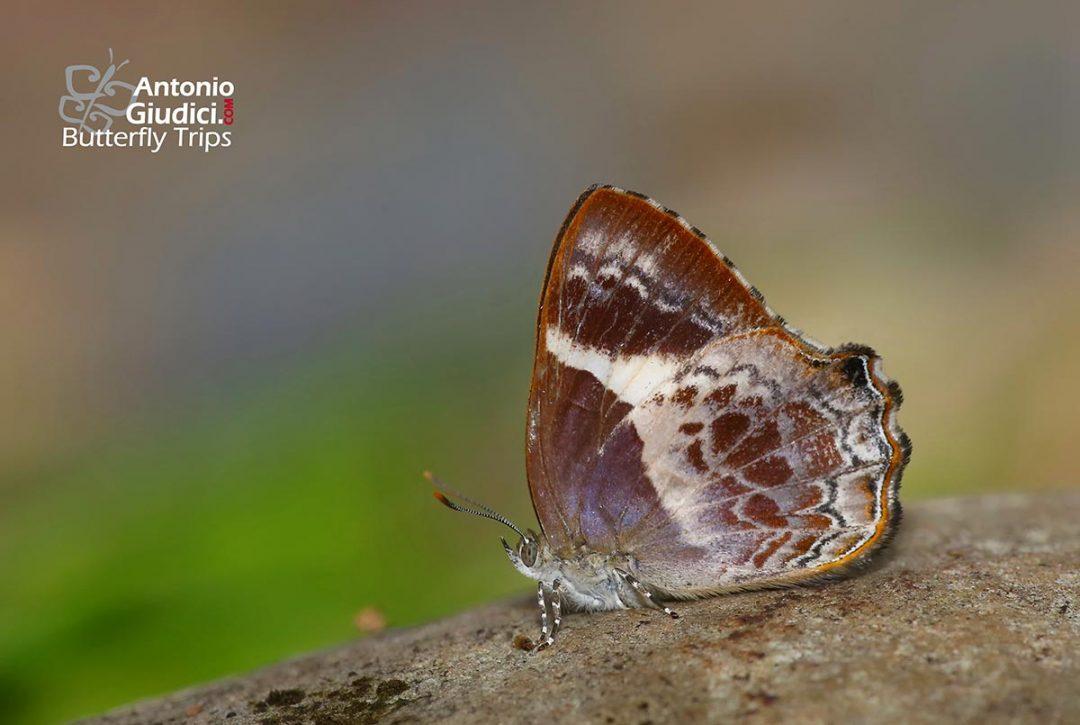 The Broad-banded Brilliantผีเสื้อประกายฟ้าแถบกว้างSimiskina phalena