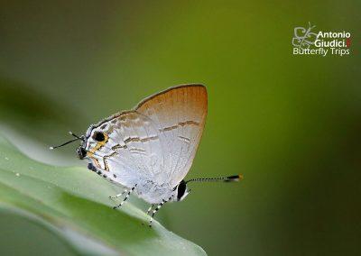 The Narrow Sparkผีเสื้อวาวครามใต้ขีดSinthusa nasaka