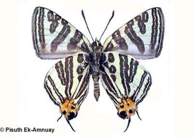 The Aroon's Silverlineผีเสื้อลายขีดเงินอรุณSpindasis leechi