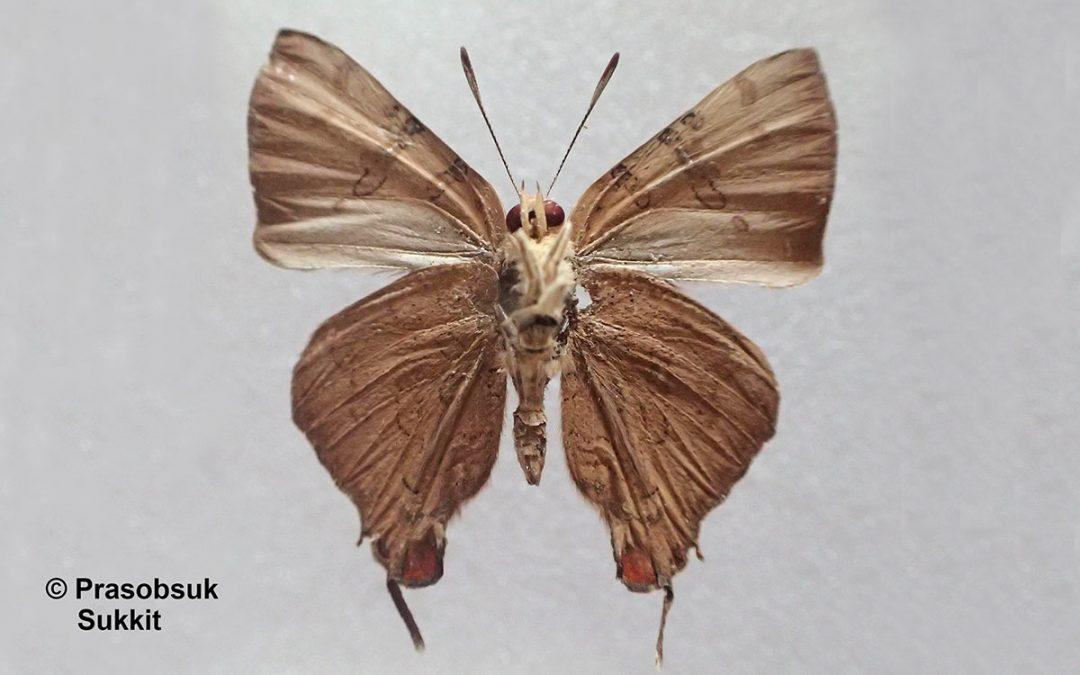The Pale Banded Silverlineผีเสื้อลายขีดเงินแถบจางSpindasis learmondi