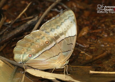 The Burmese Junglequeenผีเสื้อนางพญาพม่าStichophthalma louisa louisa