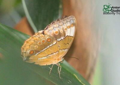 The Ranong Junglequeenผีเสื้อนางพญาระนองStichophthalma louisa ranohngensis