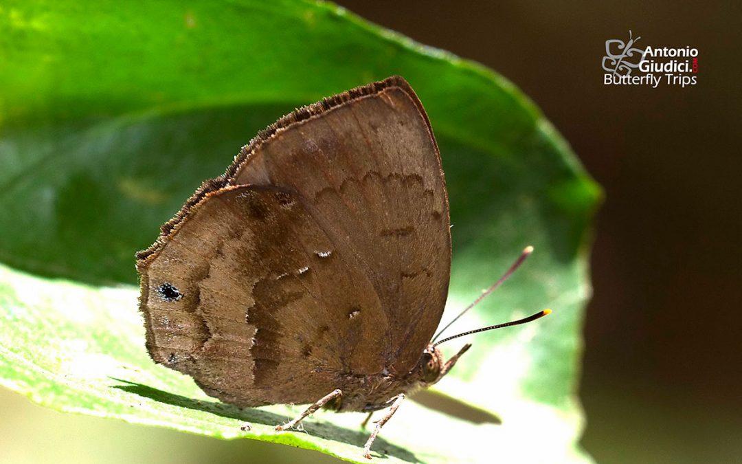 The Steely Acacia Blue ผีเสื้อฟ้าอะเคเซียสีเหล็ก Surendra florimel
