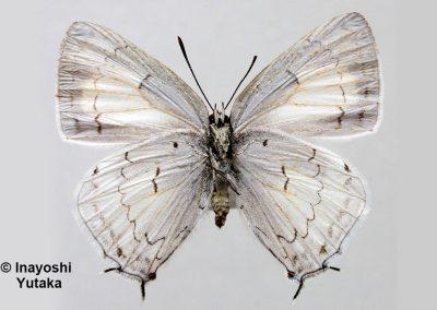 The Scarce White Royalผีเสื้อหางคู่ขาวโคนปีกจุดTajuria illurgioides
