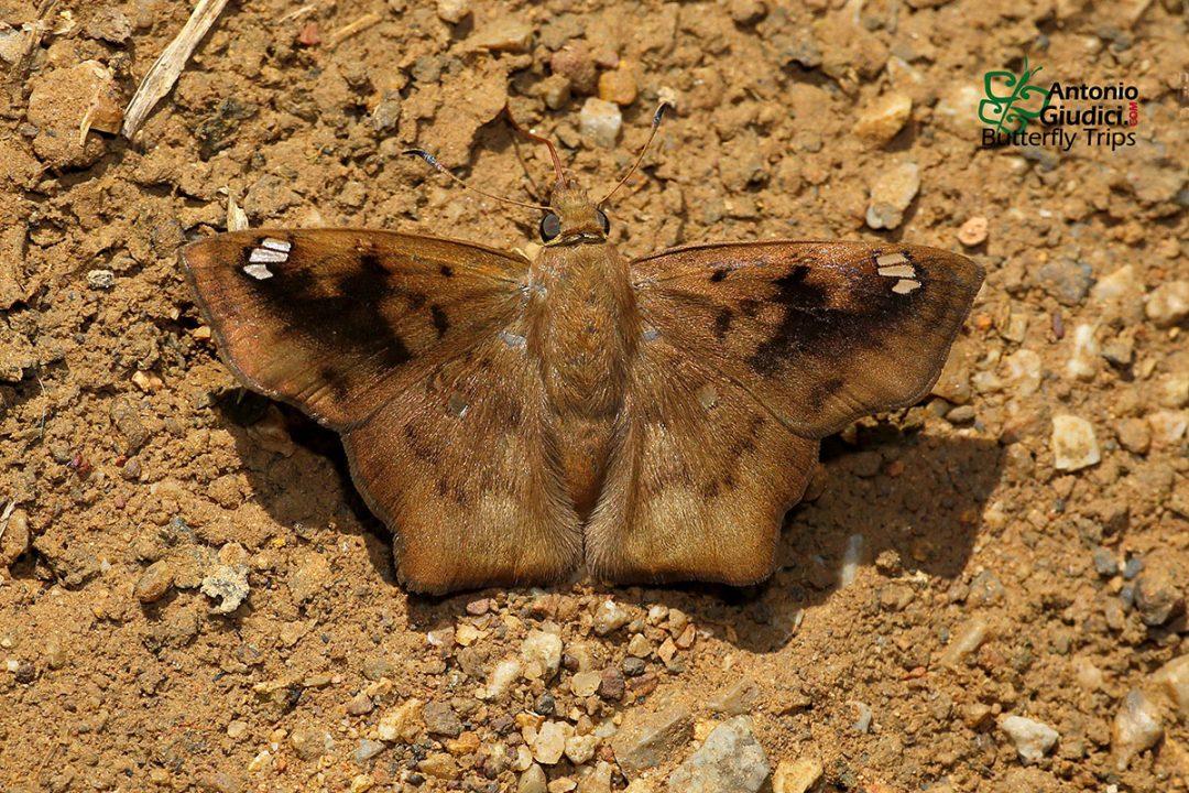 The Obtuse-winged Angleผีเสื้อปีกมุมป้านTapena thwaitesi