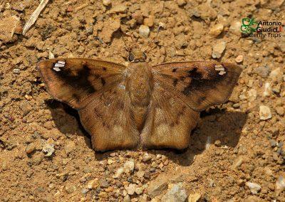 The Obtuse-winged Angle ผีเสื้อปีกมุมป้าน Tapena thwaitesi