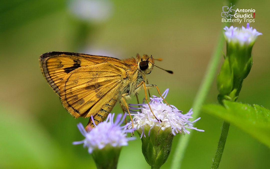 The Yellow Grass Dartผีเสื้อหนวดตุ้มลายเหลืองTaractrocera archias