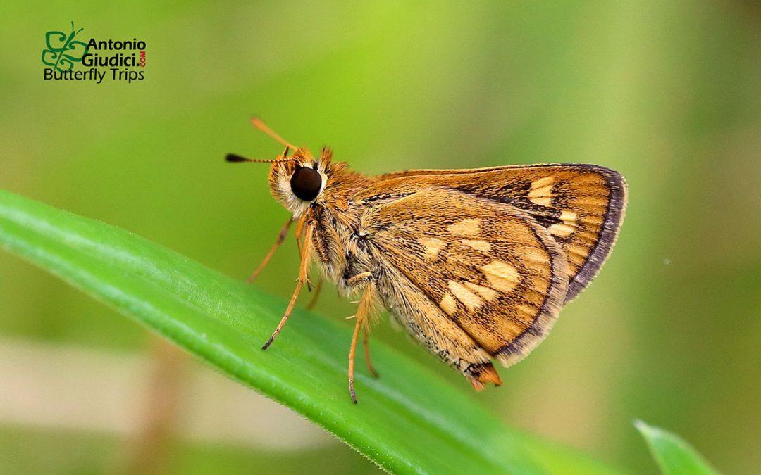 The Veined Grass Dartผีเสื้อหนวดตุ้มเส้นดำTaractrocera luzonensis