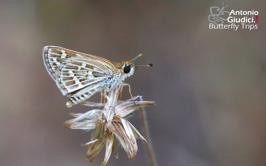The Common Grass Dartผีเสื้อหนวดตุ้มจุดขาวTaractrocera maevius