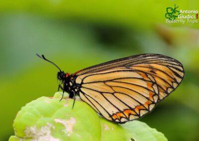 The Yellow Costerผีเสื้อหนอนหนามปีกเหลืองTelchinia issoria