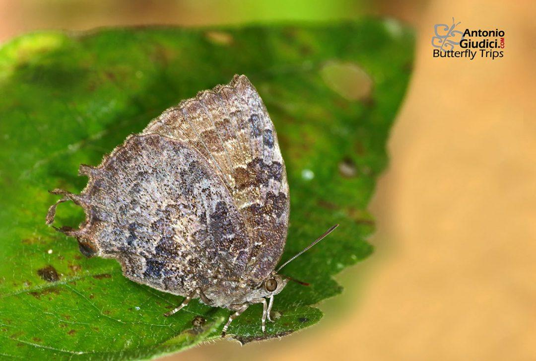 The Many-tailed Oakblueผีเสื้อฟ้าหางสามThaduka multicaudata