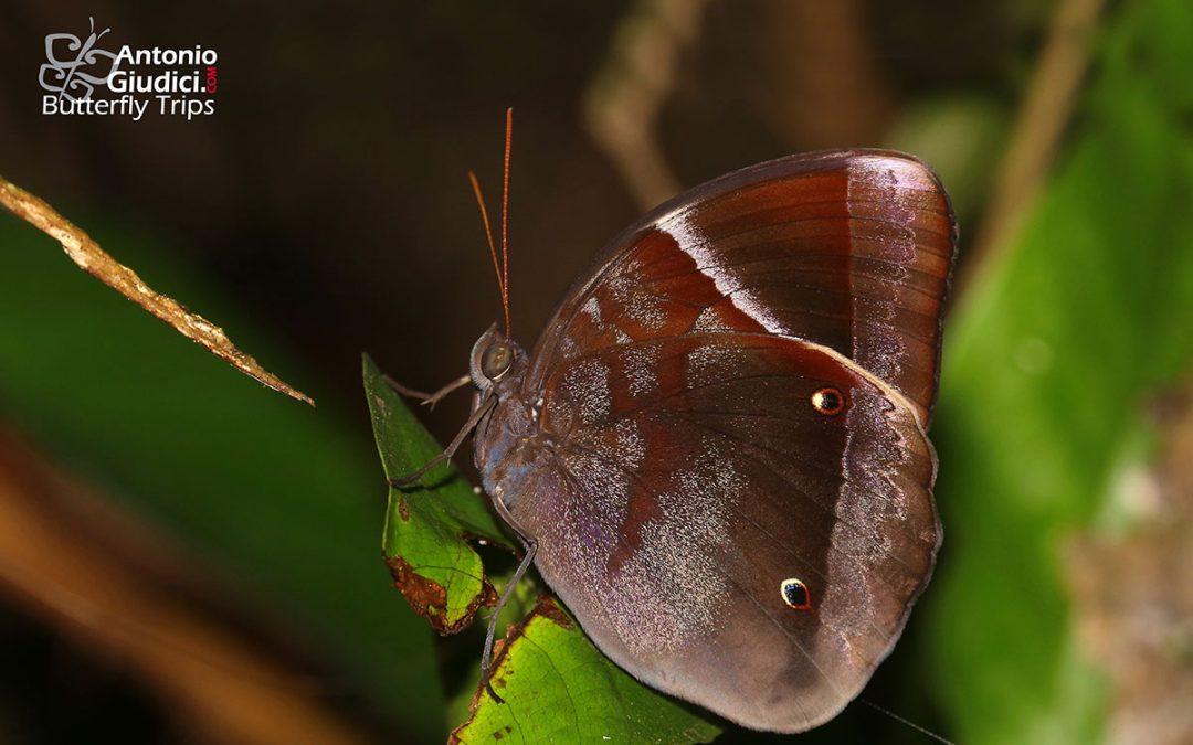 The Dark Junglegloryผีเสื้อดาราไพรสีคล้ำThaumantis klugius