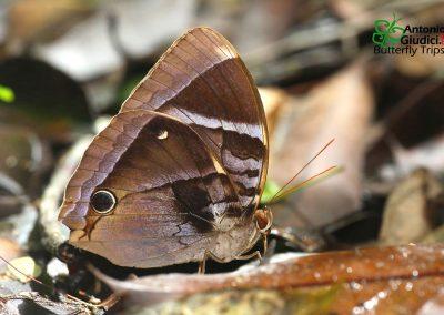 The Malayan Junglegloryผีเสื้อดาราไพรปักษ์ใต้Thaumantis odana