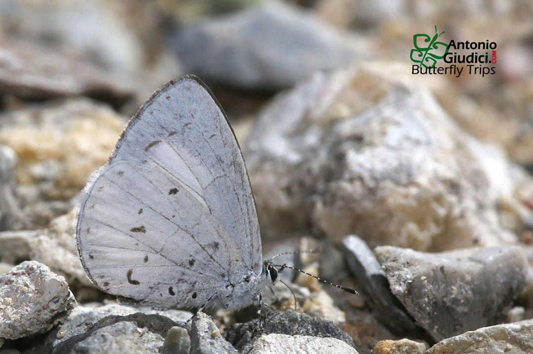 The Alboceruleanผีเสื้อฟ้าพุ่มปีกหลังขาวUdara albocaerulea