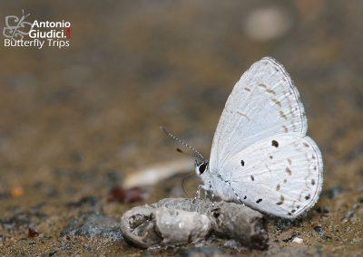 The Narrow-bordered Hedge Blueผีเสื้อฟ้าพุ่มขอบปีกแคบUdara placidula