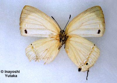 The Large-spot Whiteผีเสื้อขาวจุดใหญ่Ussuriana michaelis