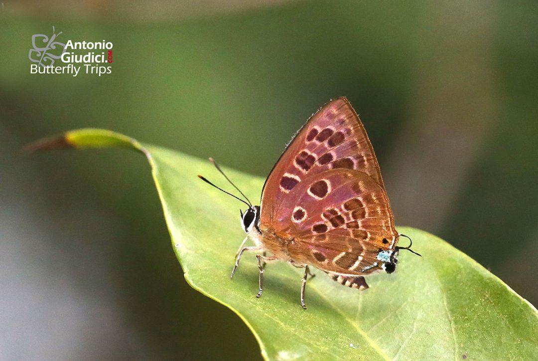The Spotted Guava Blueผีเสื้อหนอนเจาะผลลายจุดVirachola subguttata