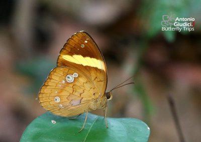 The Panผีเสื้อตาลแถบเหลืองXanthotaenia busiris