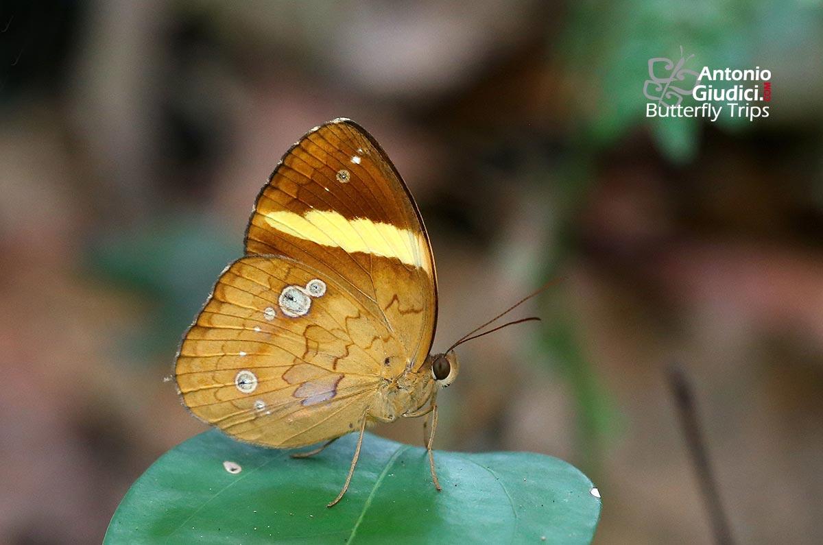 Bộ sưu tập cánh vẩy 5 - Page 30 Xanthotaenia-busiris