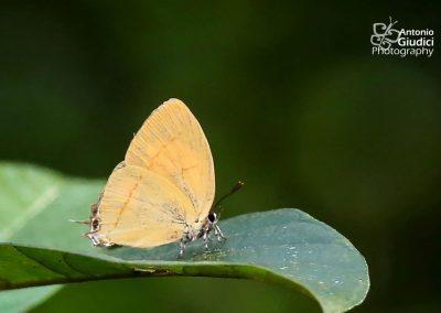 The Fruhstorfer's Yamflyผีเสื้อแสดแถบเพศอินโดจีนYasoda androconifera