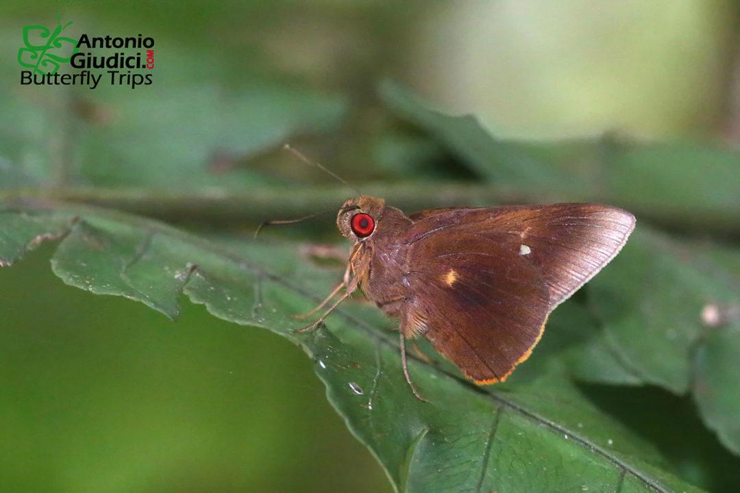 The Brown-tufted Palmerผีเสื้อปาล์มพู่ปีกตาลZela elioti