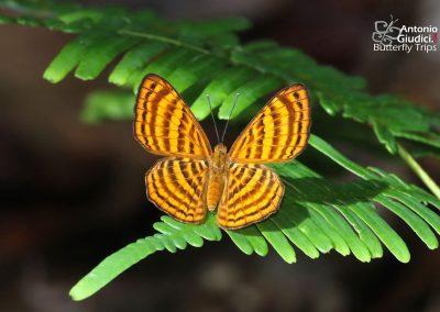 The Malay Punchinelloผีเสื้อบินตลกมลายูZemeros emesoides