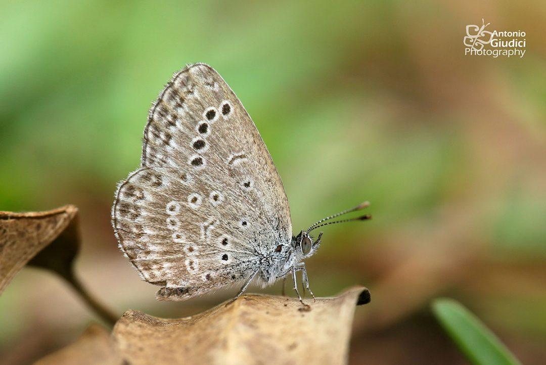 The Pale Grass Blueผีเสื้อฟ้าเซลล์จุดป่าสูงZizeeria maha