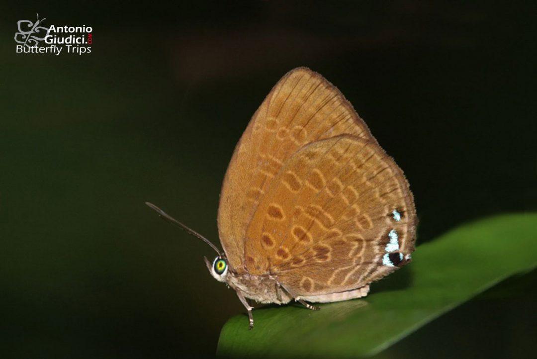 The Violet Oakblueผีเสื้อฟ้าไม้ก่อจุดเรียงArhopala hypomuta