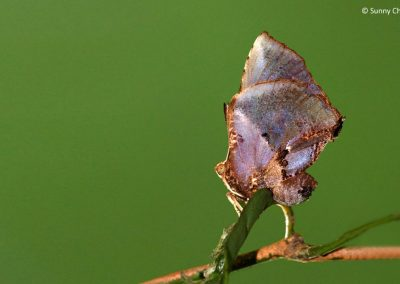 The Moth Butterflyผีเสื้อม้อธLiphyra brassolis