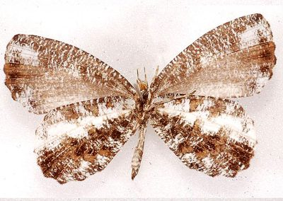 The Rounded Mottle  ผีเสื้อลายหินอ่อนปีกมน Logania regina