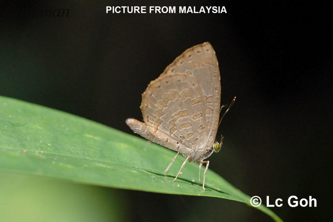 The Brown Brownieผีเสื้อหนอนกินเพลี้ยสีตาลMiletus gaesa