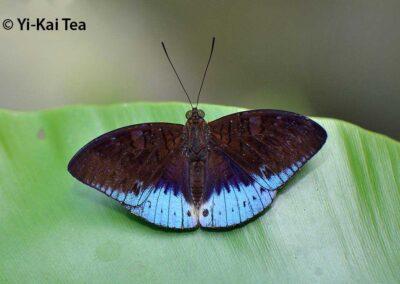 The Violet-bordered Viscountผีเสื้อไวส์เคาท์ขอบม่วงTanaecia clathrata
