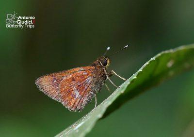 The Rusty Flitterผีเสื้อม่วงทองใต้สนิมZographetus ogygia