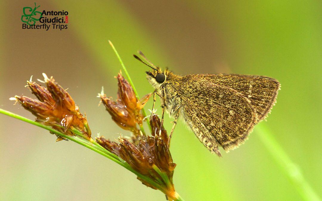 The Pygmy Scrub Hopperผีเสื้อจิ๋วแคระAeromachus pygmaeus